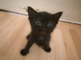 Black Kitten female looking for a loving home