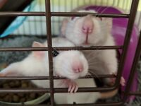 Two Female Fancy/Dumbo Rats complete with Cage