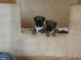 BOXER PUPPIES INVERNESS