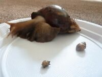 Young Giant african land snails