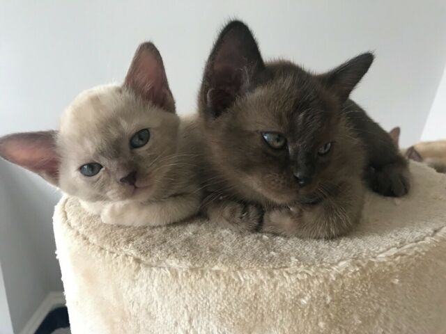 Stunning Litter Of Burmese Kittens In Fulham London Gumtree