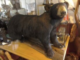 Full mount black mounted black bear in wonderful condition