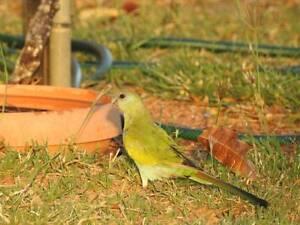 Hooded parrot Female Wattle Grove Kalamunda Area Preview
