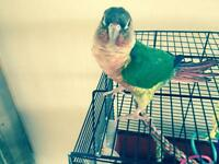 Male and female conure fir sale or trade