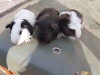 3 boar guineapigs
