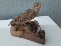 Taxidermy Juvenile Starling mounted on naturalistic base