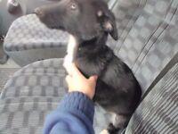 German shepard x collie puppy