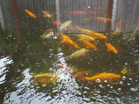 KOI COLLECTION INCLUDING ORFE AND GOLDFISH