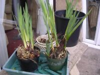 Pond Iris, Yellow flower suplied bare rooted