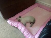 *****DOLLY THE STUNNING RAGDOLL KITTEN FOR SALE*****