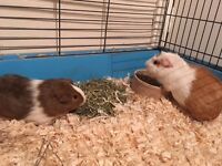 2 female guinea pigs and cage for sale