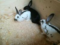 young male rabbits