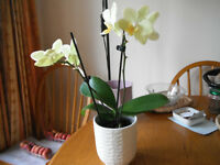 Orchid plant for sale-Yellow flowers Miniature Phalaenopsis orchid plant