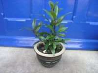 Bay Tree In Cirtcular Decorative Pot Weymouth Free Local Delivery