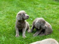 Quality KC reg Silver Labrador Puppies