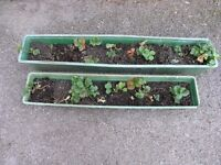 Strawberry Plants in two long Green Troughs Weymouth