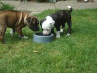 Staffy Puppies x2 male and female