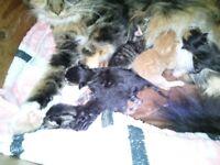 SUPER CUTE MAINE COON KITTENS