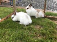 Lion lop rabbits