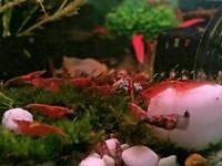 20x Cherry Shrimp Neocaridina Tropical Algae Eaters Clean Up Crew. 20 for £15