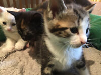 HEALTHY MIXED KITTENs ready for a loving home READY NOW