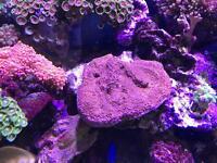 Marine nice size of sps (fish tank )
