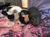 X8 Guinea pigs