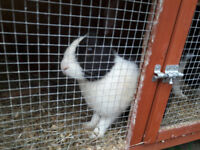 Dutch rabbits for sale £20 each (2 for £35) - available now