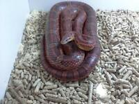 2 corn snakes male and femail free to good home