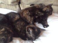 long haired female kittens