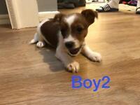 3 Beautiful YorkieRussell Puppy's