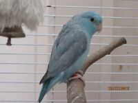 parrotlet female 2014