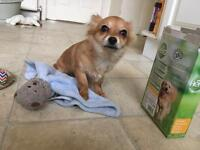 3/4 Chihuahua Puppy Lexie