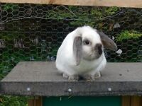 A Pair of Dwarf Lop Rabbits for Sale