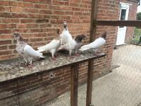Pakistani & English pigeons for sale. Only £7 each.