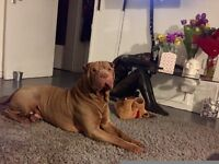 Beautiful Shar Pei Puppies For Sale in Lambeth