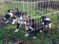Lovely Collie puppies!!