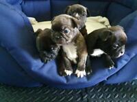 Frenchton Puppies (Boston Terrier X French Bulldog)