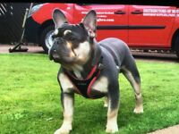 Viewing now french bulldog puppys for sale