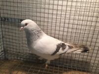 ONE TURKISH TAKLA WHITE TAIL COCK FOR SALE