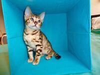 Bengal kittens 100% pure