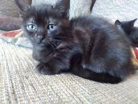 Xbengal kittens