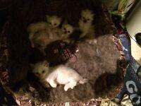 Ragdolls kittens