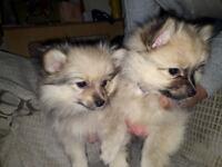 Pomchi puppys