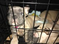 French bulldogs for sale. ready now