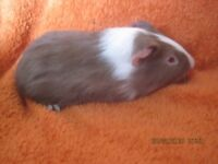 baby males guinea pigs for sale