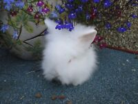 Baby Lionhead Baby Rabbit ready to go to ne home lion heads