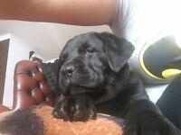 beautifull mastiff puppy ready to go to new house last puppy left