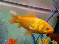 Gold fish or pond fish