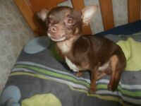 2 VERY SMALL MALE CHIHUAHUAS / NOT PUPPIES